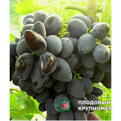 "Виноград ""Викинг"" (белые сорта)"