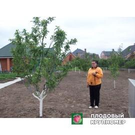 Высаженный плодовый сад