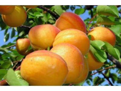 Многосортовые абрикосы