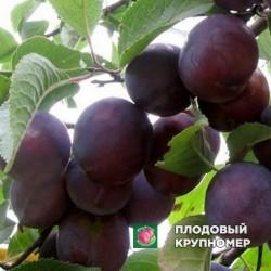 "Алыча ""Кубанская комета"""