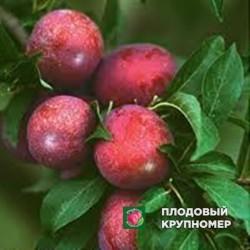 "Алыча ""Метдейская"""