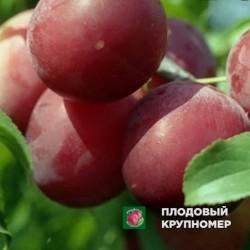 """Алыча """"Июльская роза"""""""