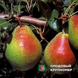 """Груша """"Бере Юбилейная"""" (Осенние сорта)"""