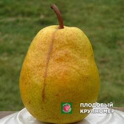 """Груша """"Киевская Зимняя"""" (Зимние сорта)"""