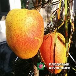"""Груша """"Китайский фонарик"""" (Зимние сорта)"""