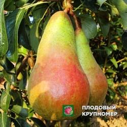 """Груша """"Аббат Фетель"""" (Осенние сорта)"""