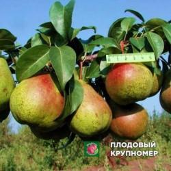 """Груша """"Академическая"""" (Осенние сорта)"""