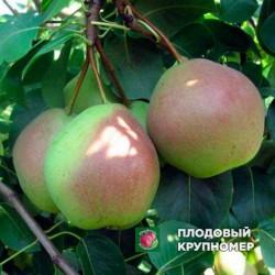 """Груша """"Десертная"""" (Осенние сорта)"""