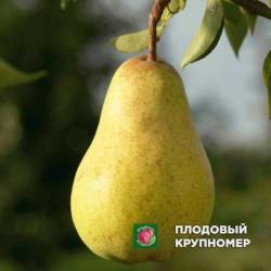 """Груша """"Дюшес Ангулем"""" (Осенние сорта)"""