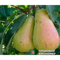 """Груша """"Кюре"""" (Колоновидная груша)"""