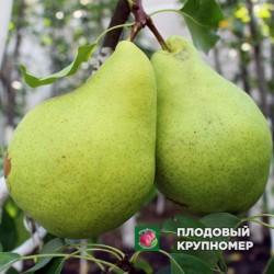 "Груша ""Маливчанка"" (Осенние сорта)"