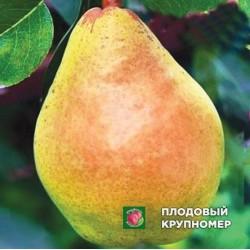 """Груша """"Маргарита"""" (Осенние сорта)"""
