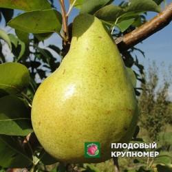 """Груша """"Молдавская"""" (Летние сорта)"""
