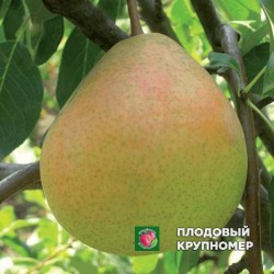 "Груша ""Оксамит"" (Летние сорта)"