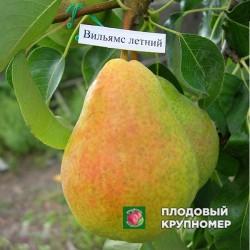 """Груша """"Вильямс летний"""" (Летние сорта)"""