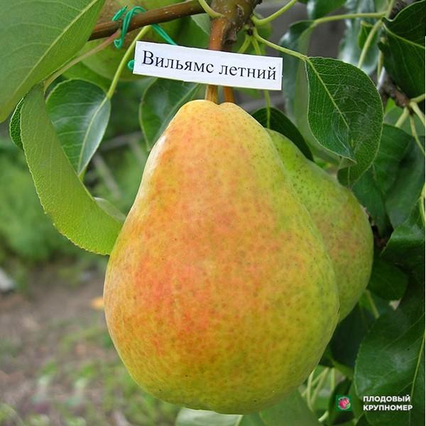 """Саженцы Груша """"Вильямс летний"""" (Летние сорта)"""