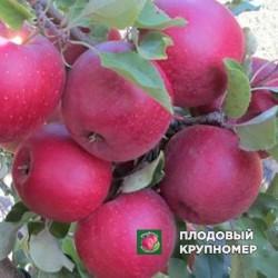 "Яблоня ""Фукутами"" (летний сорт)"