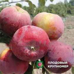 "Яблоня ""Паланка Малуна"" (летний сорт)"