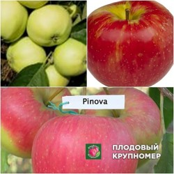 """Яблоня """"Прима-Антоновка-Пинова"""" (Многосортовые)"""