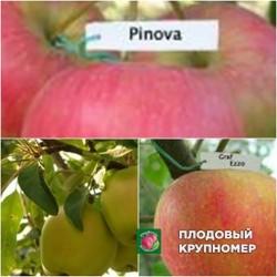 """Яблоня """"Кальвиль снежный-Граф Эззо-Пинова"""" (Многосортовые)"""