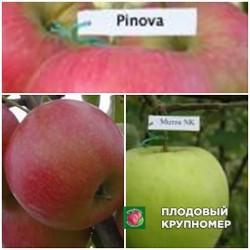"""Яблоня """"Айдаред-Мутсу-Пинова"""" (Многосортовые)"""