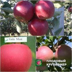 """Яблоня """"Джонаголдред-Гала Маст-Лигол"""" (Многосортовые)"""