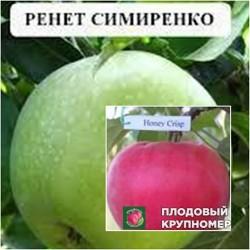 """Яблоня """"Ренет Симиренко-Хоней Крипс"""" (Многосортовые)"""