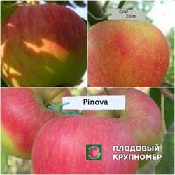 """Яблоня """"Пинова-Граф Эззо-Чемпион"""" (Многосортовые)"""
