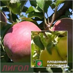 """Яблоня """"Лигол-Кальвиль снежный"""" (Многосортовые)"""