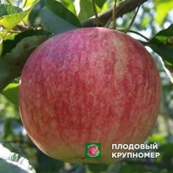 """Яблоня """"Риорина-Папировка"""" (Многосортовые)"""