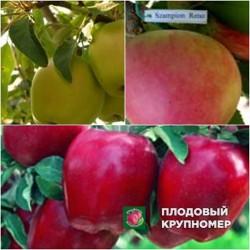 """Яблоня """"Рихард-Кальвиль снежный-Чемпион"""" (Многосортовые)"""