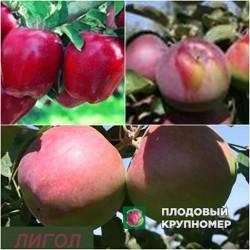 """Яблоня """"Лигол-Рихард-Флорина"""" (Многосортовые)"""