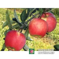 """Яблоня """"Амброзия"""" (зимние сорта)"""