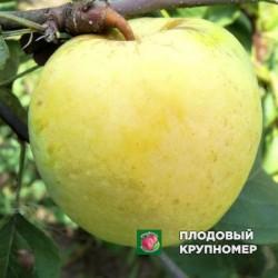 """Яблоня """"Антоновка"""" (средние сорта)"""