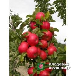 """Яблоня """"Арбат"""" (Колоновидные яблони)"""