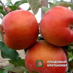 "Яблоня ""Бени Шогун"" (зимние сорта)"
