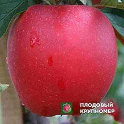 """Яблоня """"Дельбар Жюбиле"""" (зимние сорта)"""