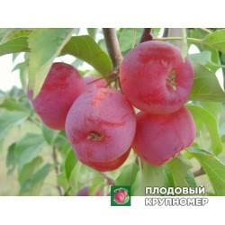 """Яблоня """"Долго"""" (Райские яблочки)"""