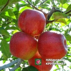 """Яблоня """"Джонаголд"""" (зимние сорта)"""