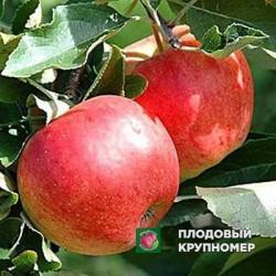 """Яблоня """"Джонавелд"""" (зимние сорта)"""