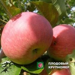 """Яблоня """"Джулия"""" (средние сорта)"""