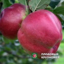 """Яблоня """"Джумба-Помме"""" (зимние сорта)"""