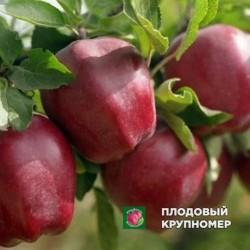 """Яблоня """"Глостер"""" (зимние сорта)"""