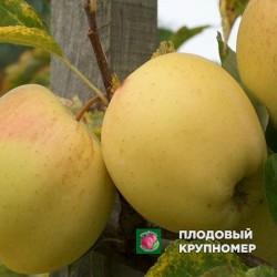"""Яблоня """"Голд Раш"""" (зимние сорта)"""