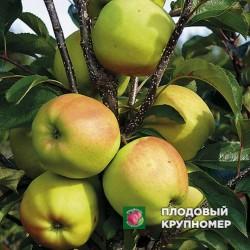 """Яблоня """"Голден зимний"""" (Осень 2020)"""