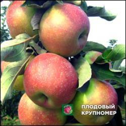 """Яблоня """"Городищенское"""" (зимние сорта)"""