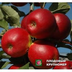 "Яблоня ""Майрак"" (Осень 2020)"
