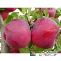 """Яблоня """"Макинтош"""" (средние сорта)"""