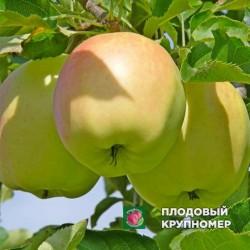"""Яблоня """"Орион"""" (Осень 2020)"""