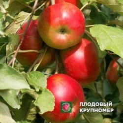 """Яблоня """"Останкино"""" (Колоновидные яблони)"""